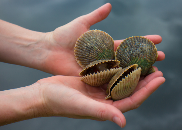 hands holding a fresh catch of scallops in the shell.